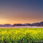 水田に咲く菜の花