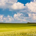 美瑛の麦畑