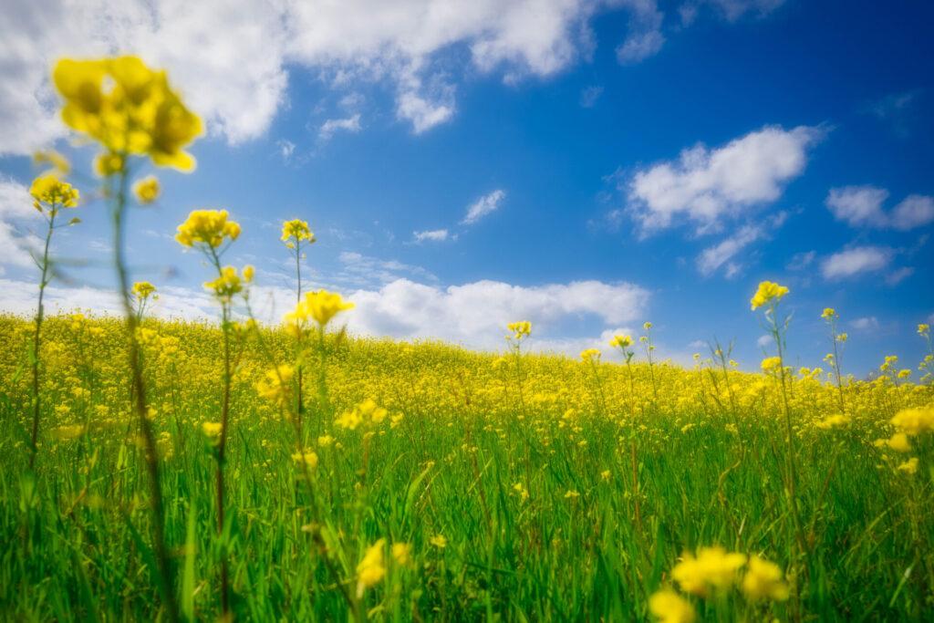 四万十川の春景色・鉄橋河畔の菜の花