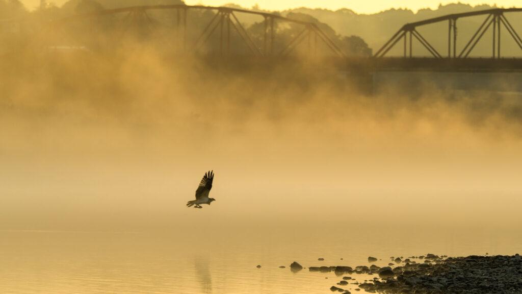 赤鉄橋の川霧とミサゴ