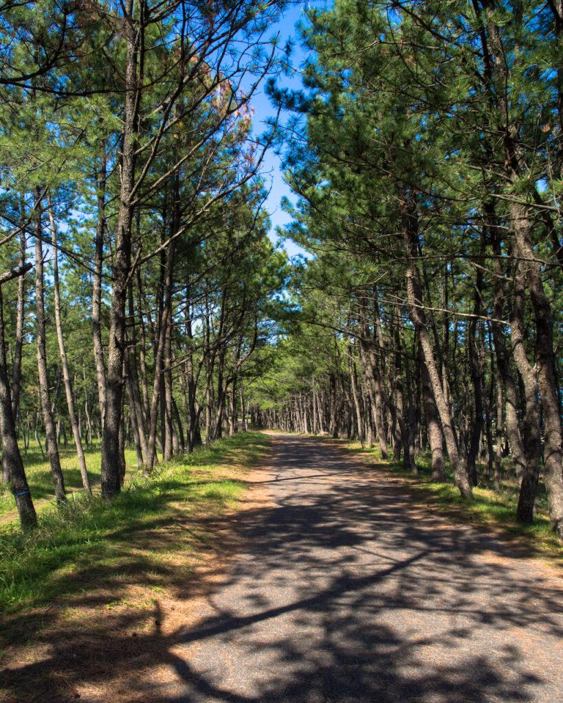 入野海岸の松林